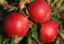 jabłoń Elise