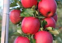 Chińscy producenci niechętnie sprzedają jabłka – czekają na wyższe ceny
