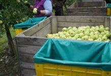 Golden Delicious – najczęściej uprawiana odmiana jabłoni w UE
