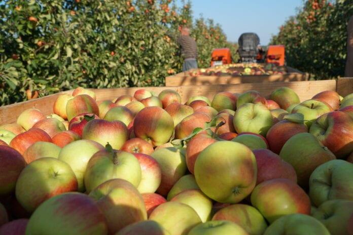 ceny jablek wUE