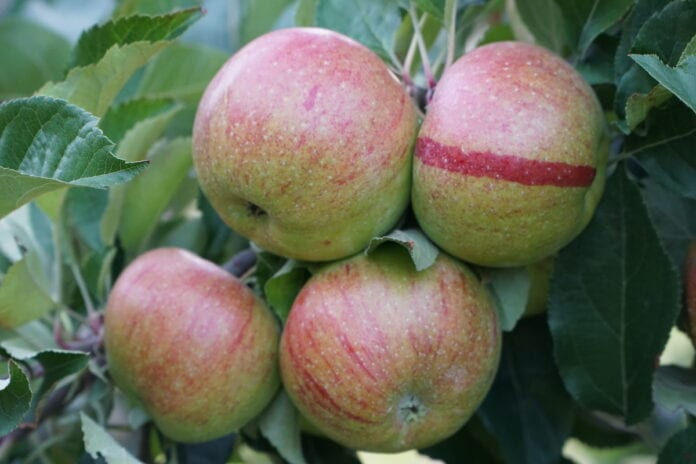 spożycie jabłek w Niemczech