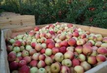 jabłka drugiej klasy