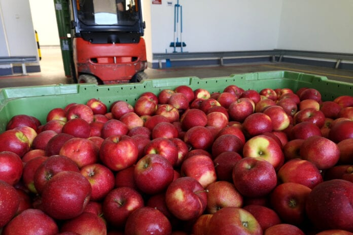 jabłka w chłodni
