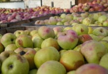 Ceny jabłek przemysłowych: Stabilizacja i delikatne wzrosty