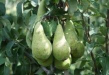 Holendrzy odchodzą od produkcji jabłek