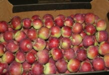 konsumpcja jabłek w Rosji
