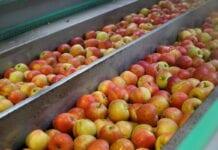 małe jabłka