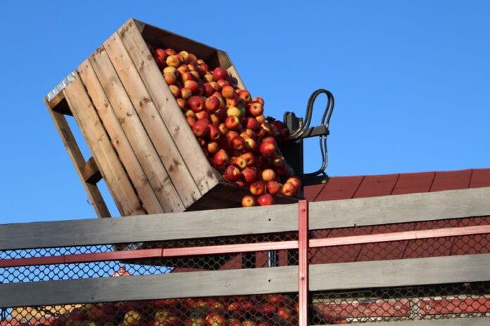 transport jabłek