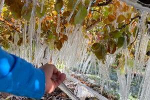 Zamarznięte sady w Yakima Valley