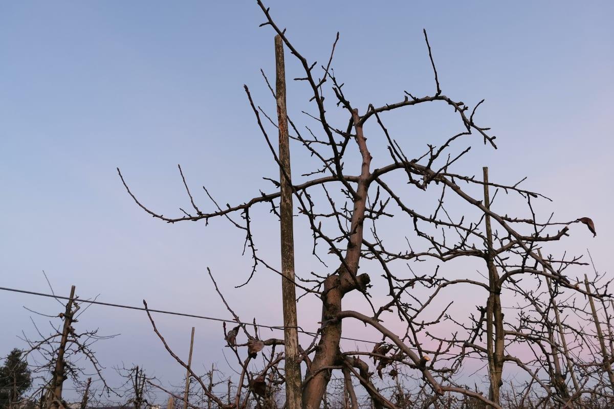 cięcie zimowe jabłoni