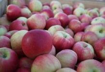 Rosja zakazuje importu jabłek z Azerbejdżanu – ucierpią konsumenci
