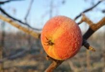 jabłko na mrozie