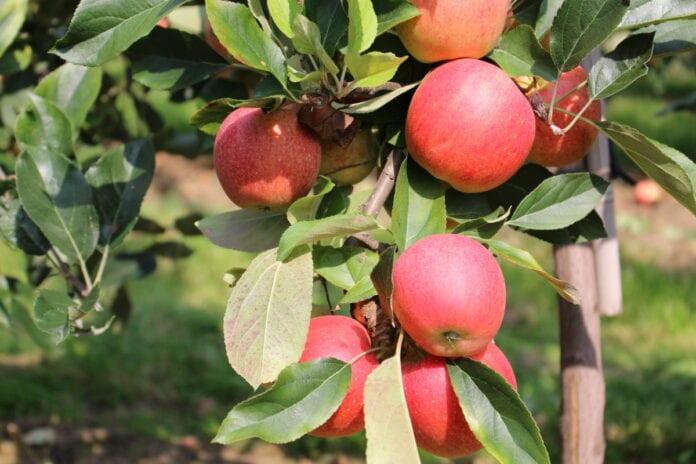 jablka w sadzie
