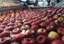 jabłka eksportowe