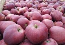 Ceny jabłek deserowych średnio o 13% niższe niż przed rokiem