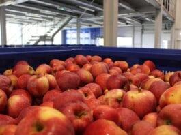 jabłka deserowe w chłodniach