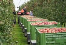 To nie sadownik zarabia najwięcej na polskich jabłkach!