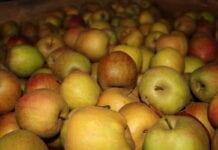 Eksportujemy do Niemiec mniej jabłek niż Kosowo?