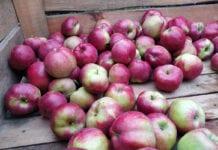 Od początku roku na niemieckich rynkach hurtowych nie było polskich jabłek?