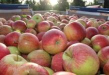 jabłka Szampion