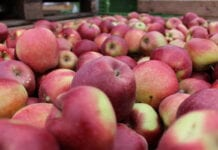 Cennik jabłek na sortowanie – 18 stycznia 2021