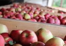 polskie jabłka ceny