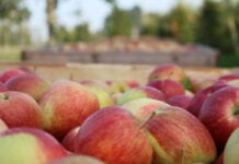 Handel jabłkami – korzystna dla pośredników retoryka