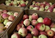 jabłka w rosji