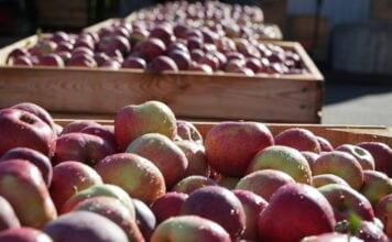 zapasy jabłek w Belgii