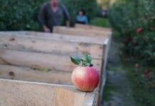 zbiory jabłek deserowych