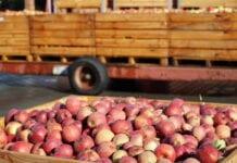 Zainteresowanie jabłkami 2 klasy spada przy próbie podniesienia ceny