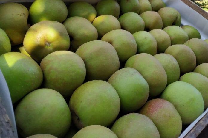 jabłka Boskoop