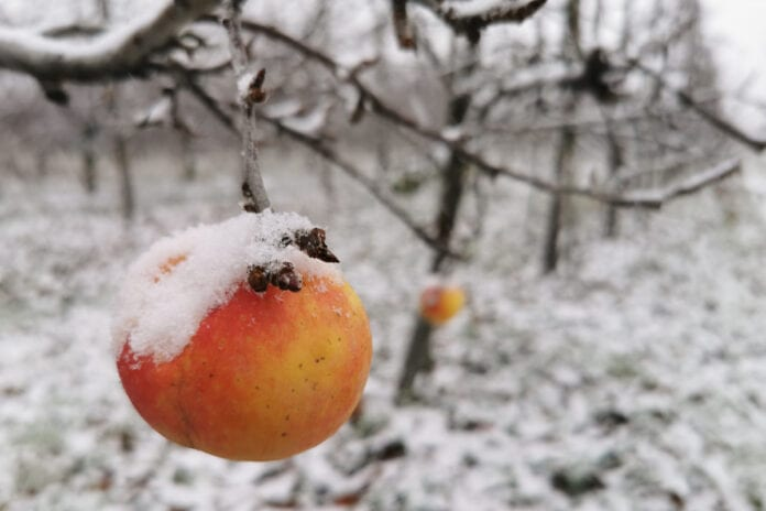 jablka mroz