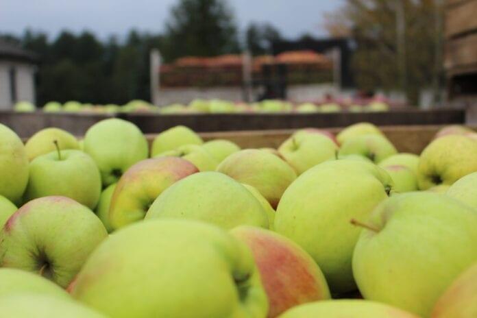 jablka na obierkę