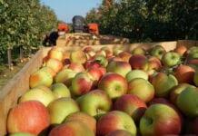 jabłka w iranie