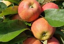 """Webinarium """"Nawożenie i dobór odmian jabłoni z perspektywy ubiegłego sezonu"""""""