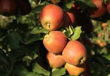 Fertygacja, dobór odmian jabłoni, poprawa zawiązania [Video]