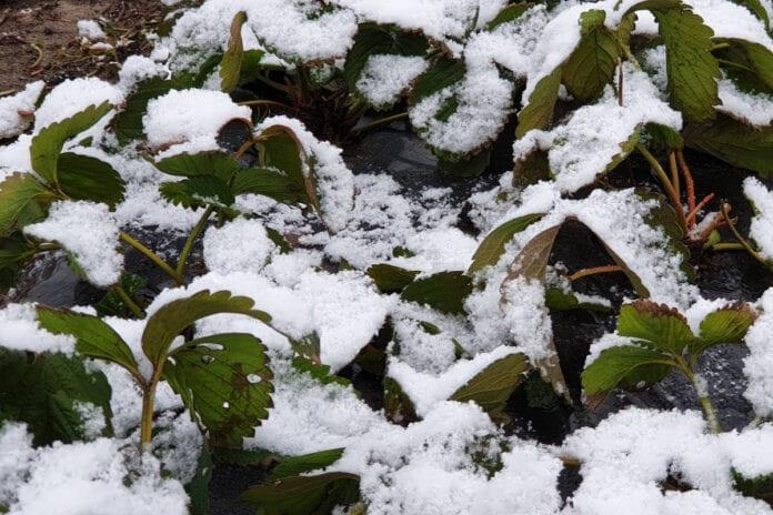 uszkodzenia na plantacjach truskawek po zimie