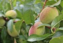 uprawy brzoskiwn