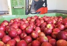 zapasy jabłek w polskich chłodniach