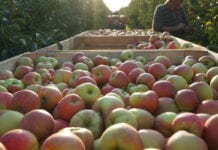 zbiory jablek