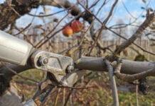 Jakie odmiany jabłoni lubią ciąć sadownicy?