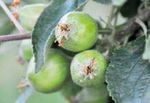przerzedzanie jabłek