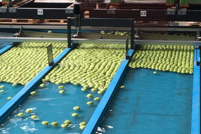 sortowanie jabłek