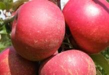 jabłka czerwonomiąższowe