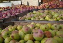 Rynek zweryfikował – krajowe przetwórnie podnoszą ceny jabłek przemysłowych