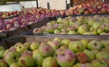 ceny jabłek przemysłowych