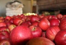 ceny jablek za wage w skrzyni