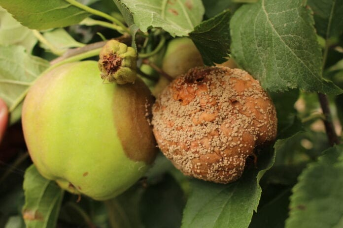 choroby jabłek