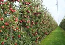 jablka deserowe